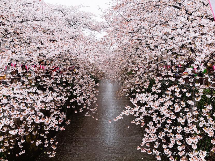2014日本最美櫻花照 1