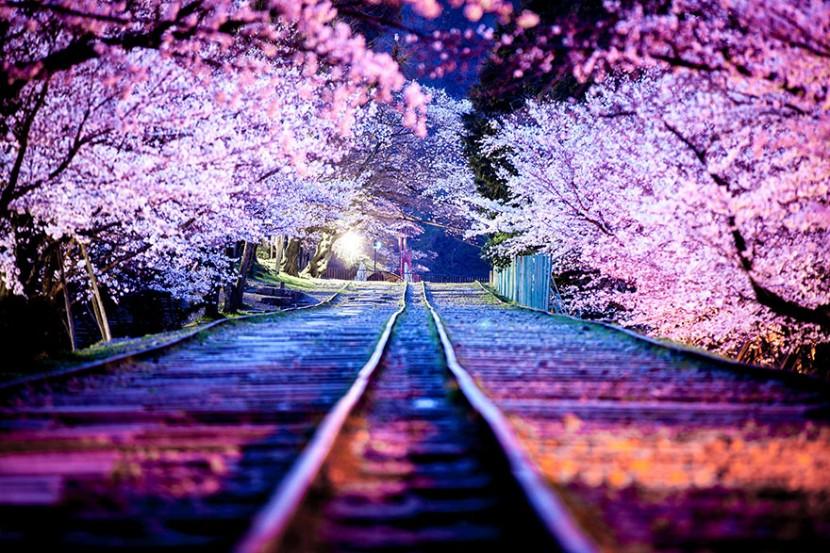 2014日本最美櫻花照 4