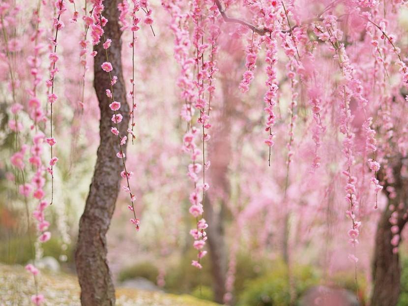 2014日本最美櫻花照 5