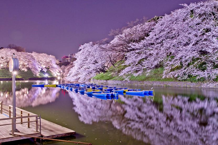 2014日本最美櫻花照 6