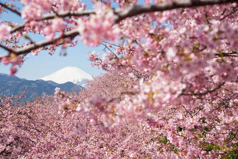 2014日本最美櫻花照 14