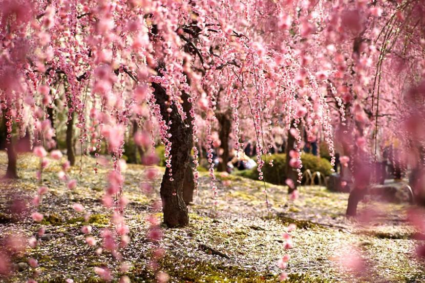 2014日本最美櫻花照 15