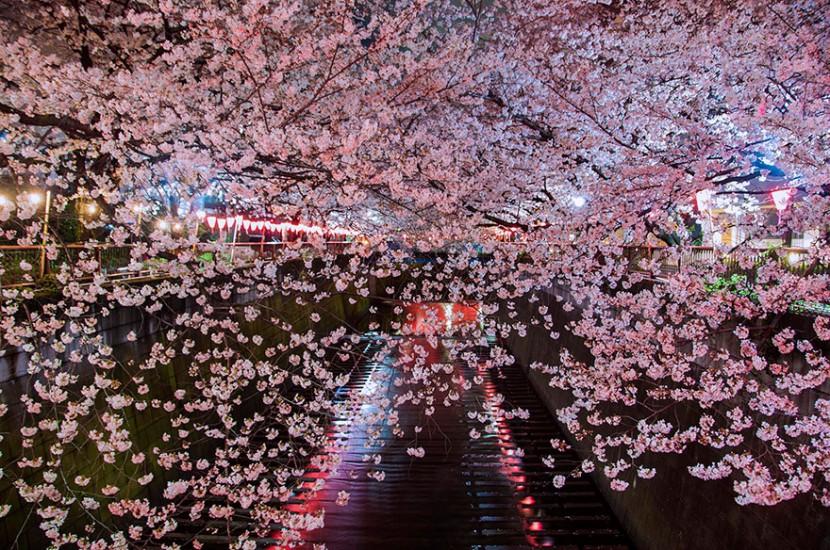 2014日本最美櫻花照 16