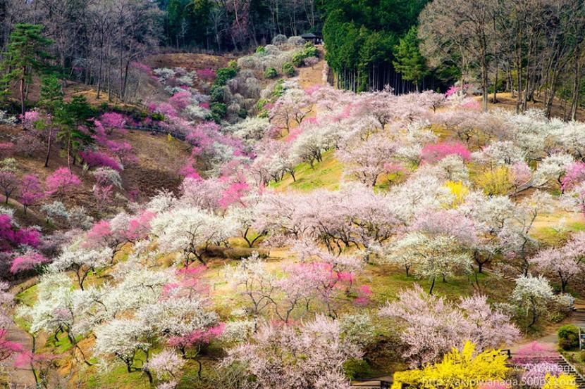 2014日本最美櫻花照 17