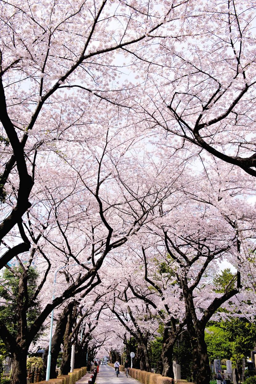 2014日本最美櫻花照 18