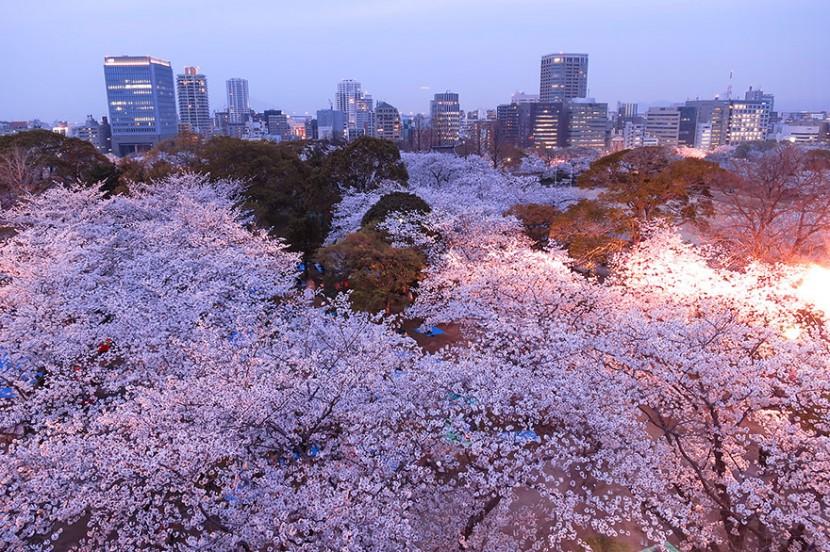 2014日本最美櫻花照 19