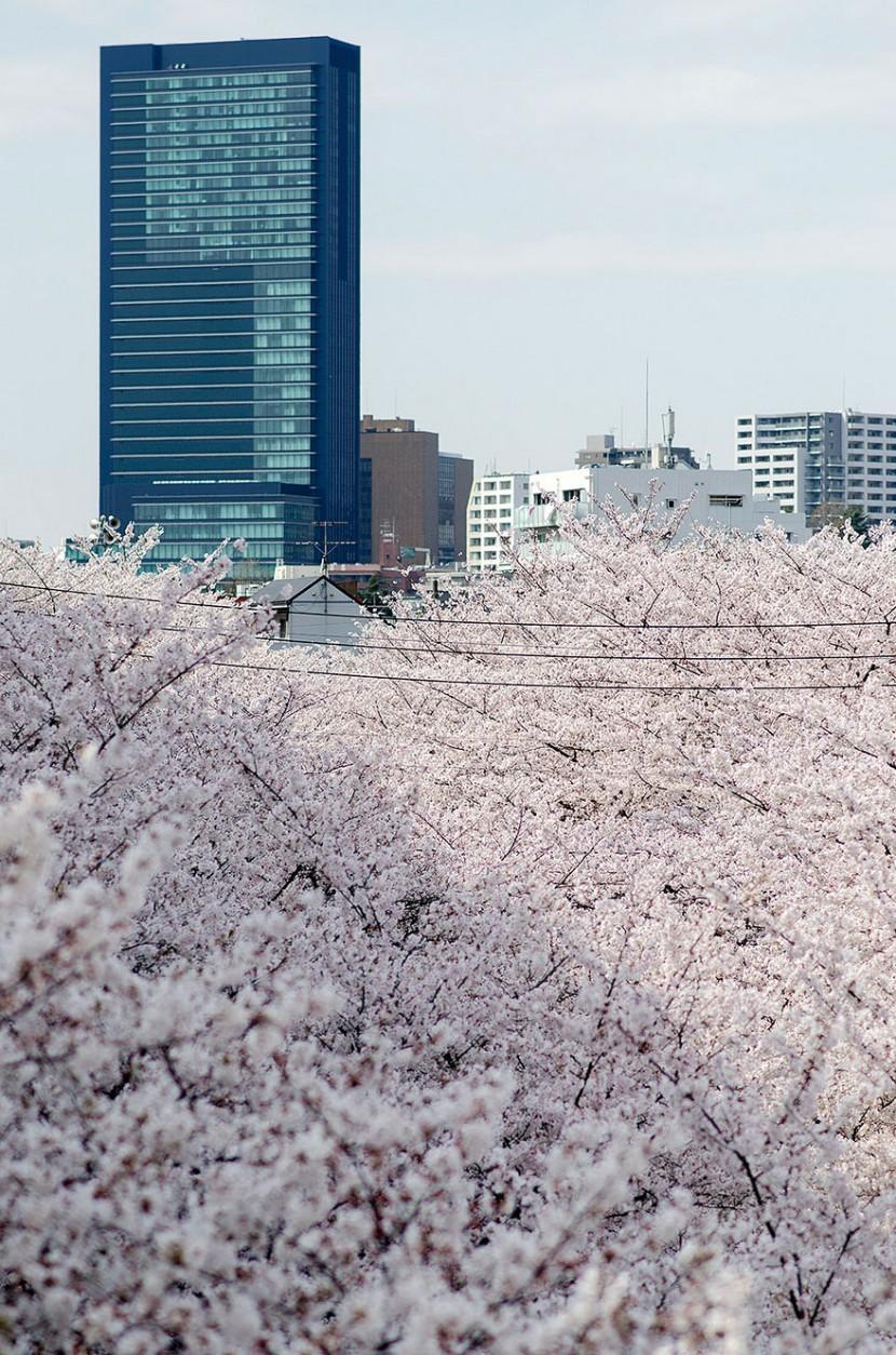 2014日本最美櫻花照 20