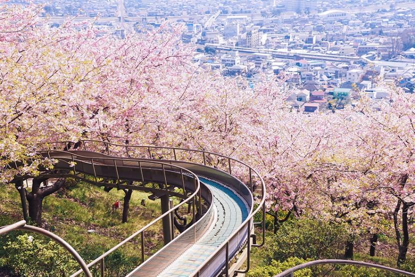 2014日本最美櫻花照 21