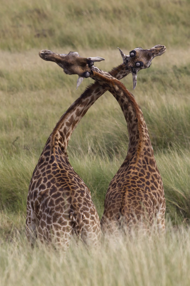 愛上長頸鹿的22個理由 1