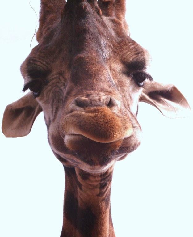 愛上長頸鹿的22個理由 5