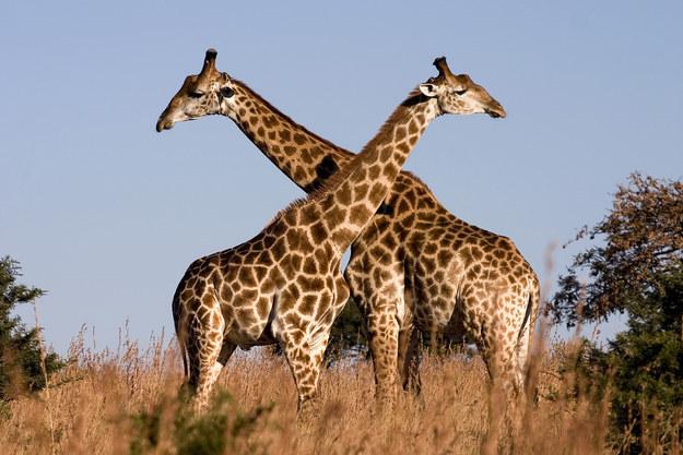 愛上長頸鹿的22個理由 9