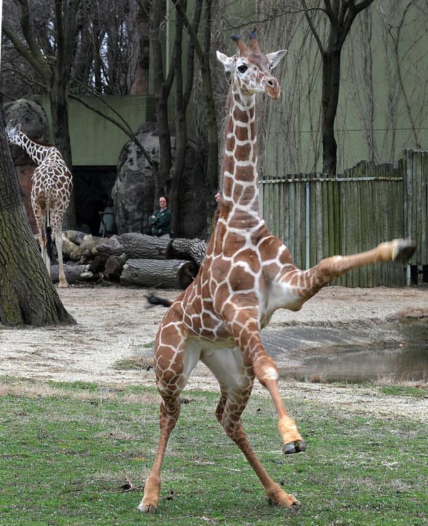 愛上長頸鹿的22個理由 10