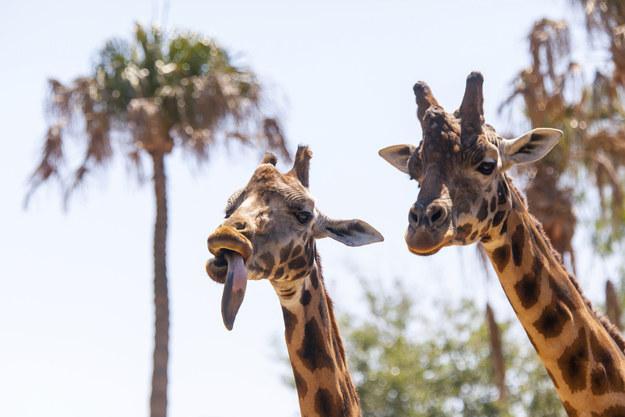 愛上長頸鹿的22個理由 13