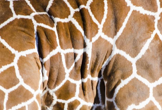 愛上長頸鹿的22個理由 14