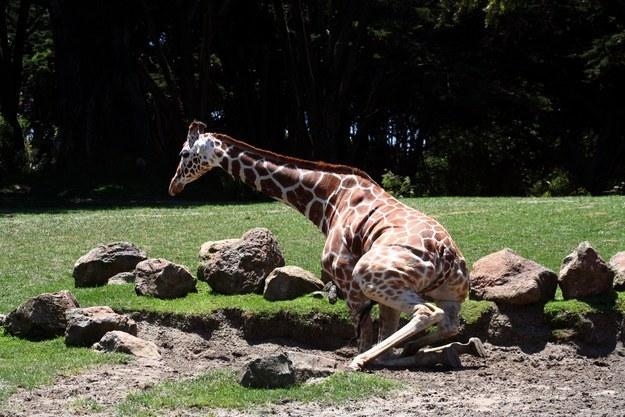 愛上長頸鹿的22個理由 16