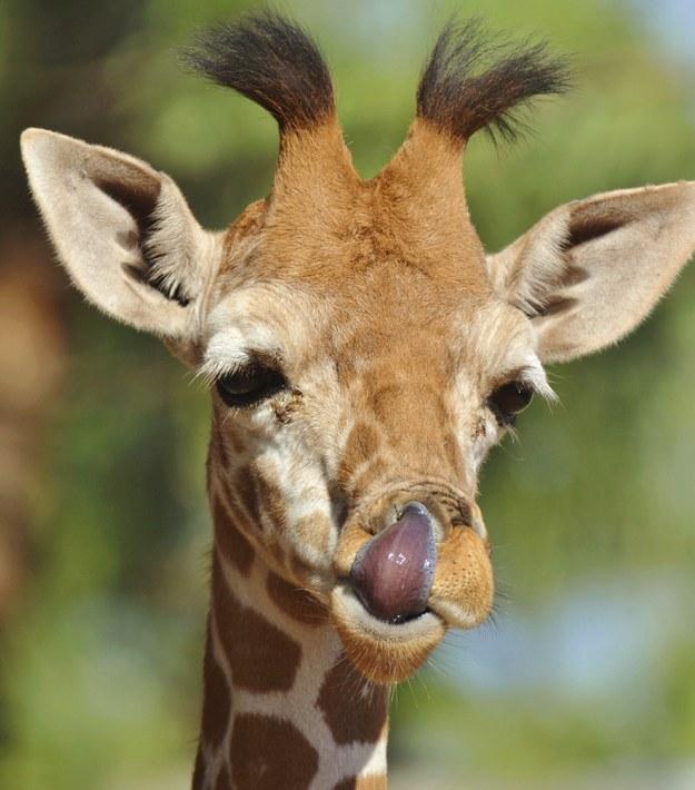 愛上長頸鹿的22個理由 17