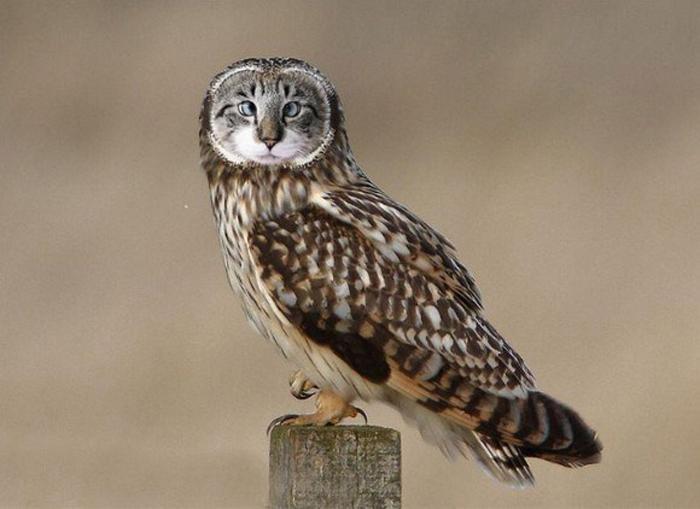 貓頭鷹真的變成貓了?!MEOWLS:頭貓+鷹身全新物種 4