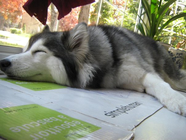This Husky Raised By Cats Acts Like A Cat 12