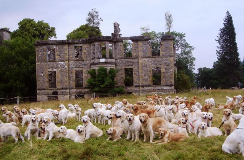 比101隻忠狗還要多!222隻黃金獵犬在蘇格蘭聚會 1