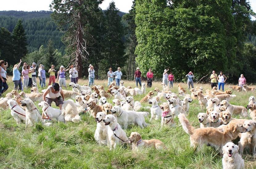 比101隻忠狗還要多!222隻黃金獵犬在蘇格蘭聚會 3