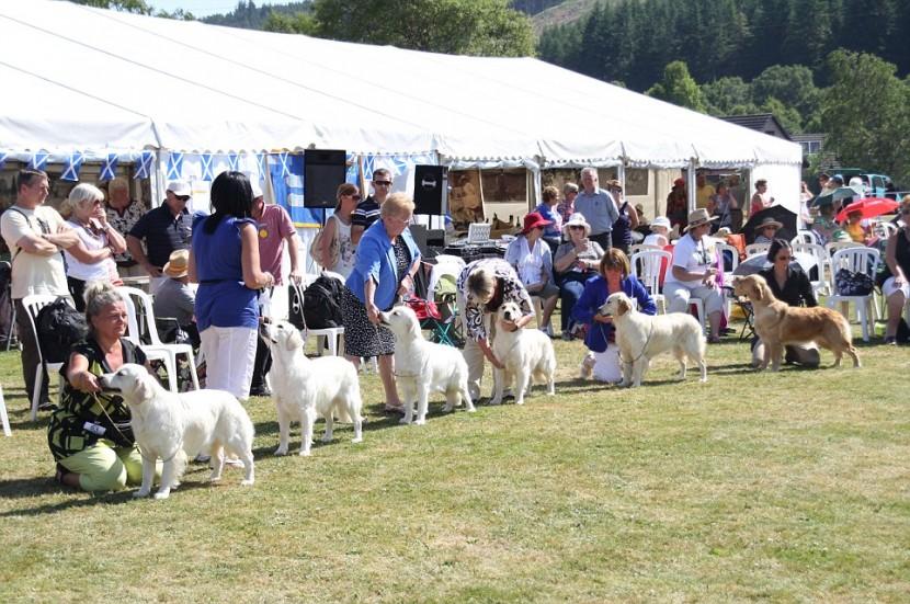 比101隻忠狗還要多!222隻黃金獵犬在蘇格蘭聚會 6