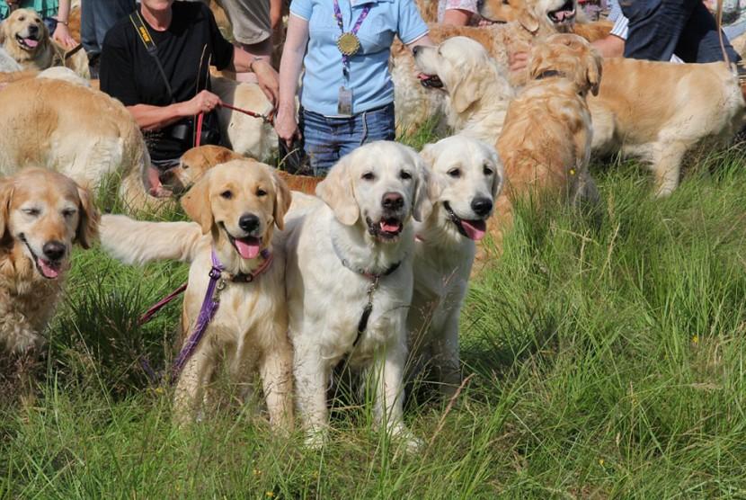 比101隻忠狗還要多!222隻黃金獵犬在蘇格蘭聚會 9