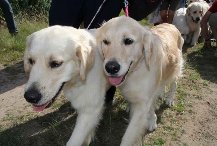 比101隻忠狗還要多!222隻黃金獵犬在蘇格蘭聚會 10