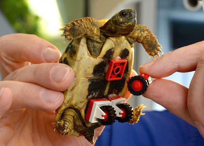 Tortoise Fitted with LEGO Wheelchair to Help Him Move Around 8