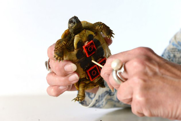 Tortoise Fitted with LEGO Wheelchair to Help Him Move Around 9