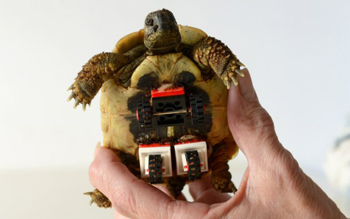 Tortoise Fitted with LEGO Wheelchair to Help Him Move Around 10