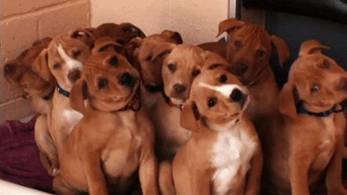 Head-Tilt:好可愛的狗狗歪頭,但你知道牠們為何會這樣嗎? 1