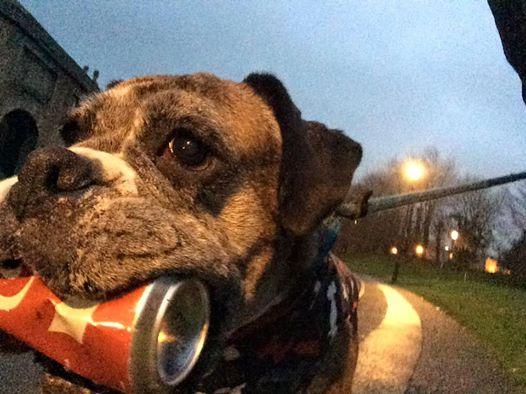 跟著毛小孩一起做環保:現實生活中這隻拳師犬正在默默地「拯救地球」! 1