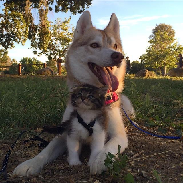 好朋友不應該侷限在同一種類!這是 3 隻哈士奇拯救棄養小貓的感人故事 1