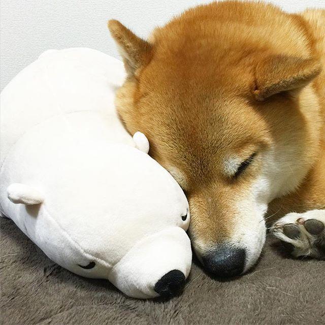 好朋友的真心陪伴:來自日本人氣柴犬 Maru 與「玩偶熊」的可愛故事 1