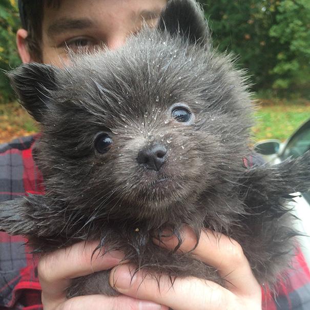 Dogs or Teddy Bears?讓人融化的 15 張可愛小狗,超萌的好像「泰迪熊」 4