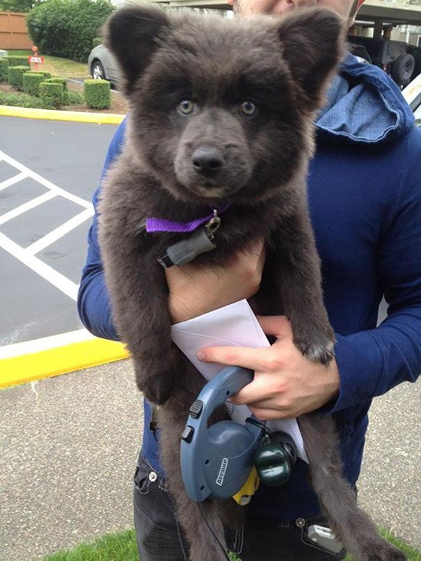 Dogs or Teddy Bears?讓人融化的 15 張可愛小狗,超萌的好像「泰迪熊」 6