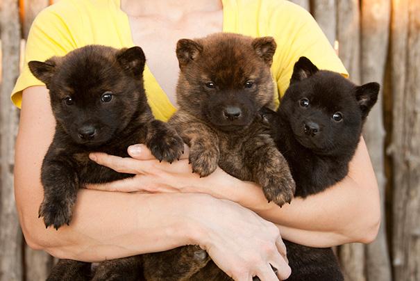 Dogs or Teddy Bears?讓人融化的 15 張可愛小狗,超萌的好像「泰迪熊」 8