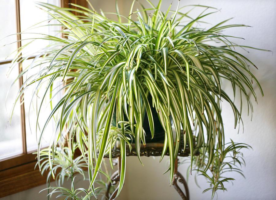 美國太空總署 NASA 認証:這 18 種植物養在家裡可以成為天然的空氣濾淨機 6